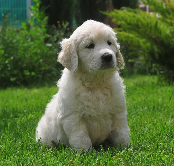 Golden Retriever de vanzare