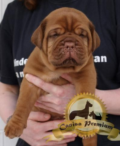 Dog de Bordeaux de vanzare